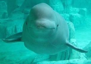 Captan el sonido de una ballena imitando la voz humana