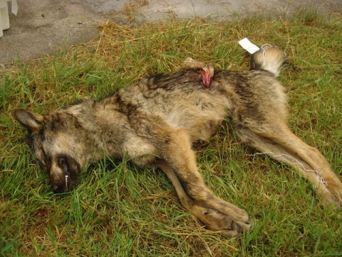 El Principado De Asturias Mata A Tiros A Cuatro Cachorros De Lobo De