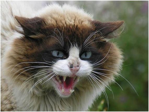 gatos felinos en peligro de extinción