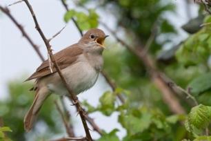 El ruiseñor común tiene el récord de longevidad de pequeñas aves migratorias con 11 años de vida, según SEO/BirdLife