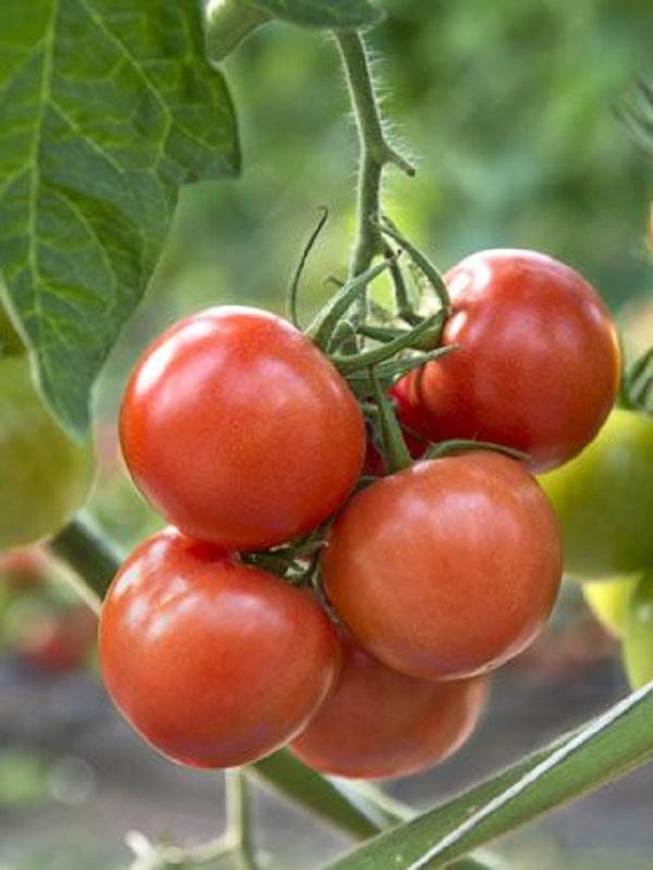 El tomate consigue mejor sabor y propiedades con menos agua de riego