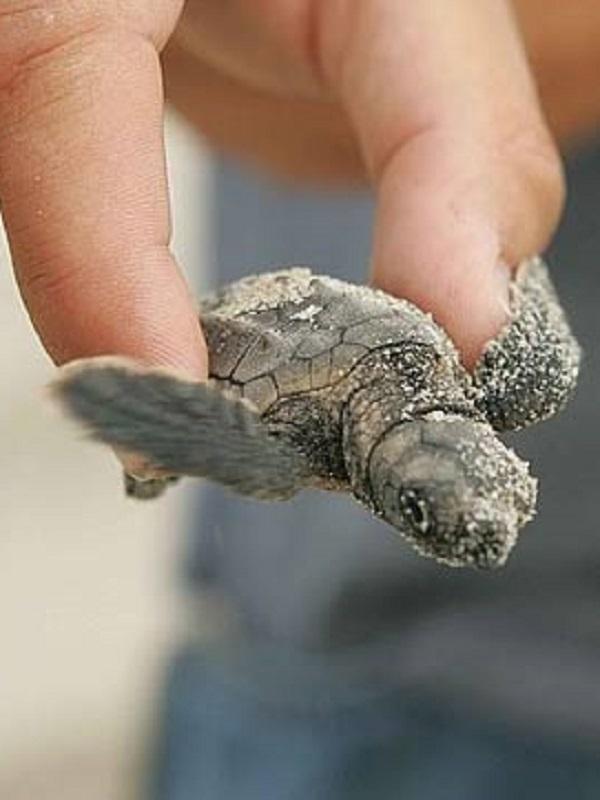 Garantizando el futuro de las tortugas bobas en el Mediterráneo