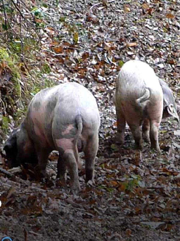 Mejorando el pastoreo sostenible de razas porcinas celtas en los castañares