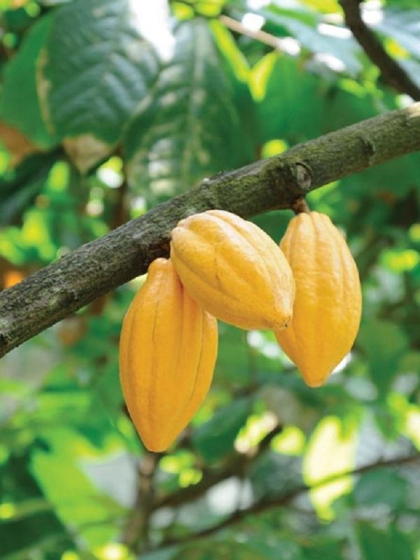 Programa de sostenibilidad: Cocoa Life