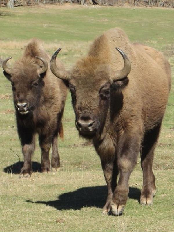 El Parque de la Prehistoria de Teverga incorpora dos nuevos ejemplares, hembra y macho, de bisonte europeo