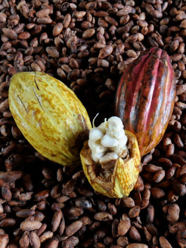 Brasil trata de salvar la Amazonía con plantas de cacao