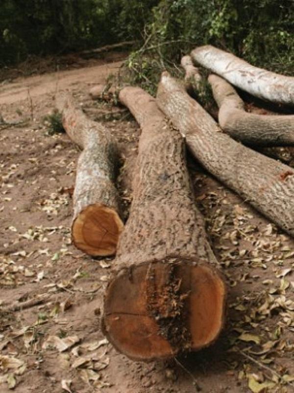 La tragedia de la tala del bosque de Bialowieza