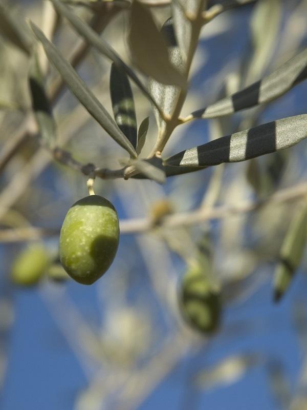 Cádiz se adhiere a la Asociación de paisajes del olivar de Andalucía patrimonio mundial