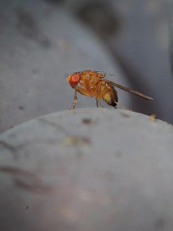 Las moscas macho encuentran la eyaculación placentera