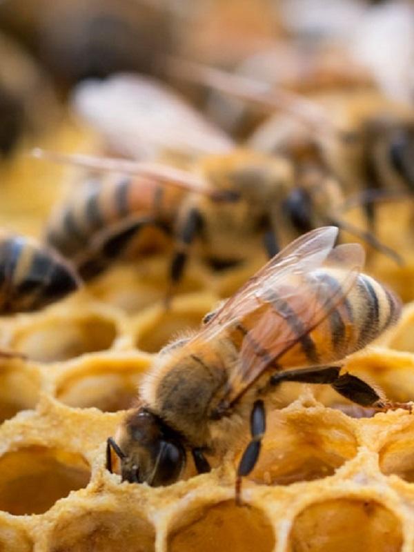 Hay que prohibir sí o sí tres insecticidas peligrosos para las abejas