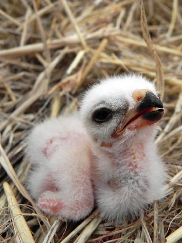 La escasez de alimento por el cambio climático es letal para criar los polluelos