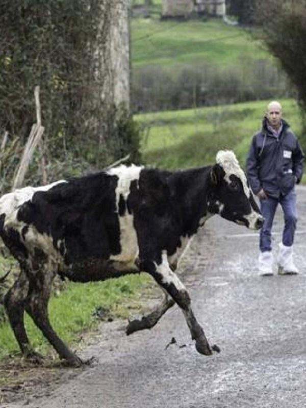 Maltrato animal por parte de un ganadero de Bielva
