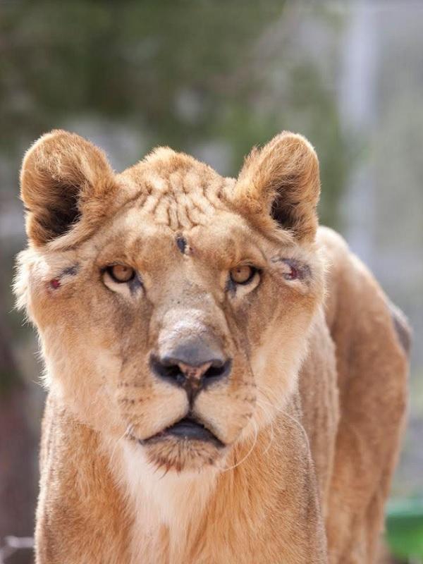 Los animales de circo que llegaron malheridos ya están a salvo