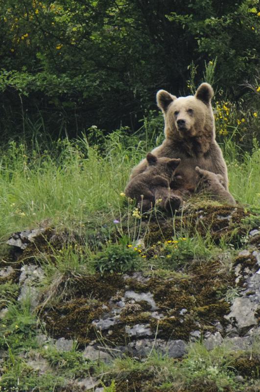 Hueca se compromete a compensar los sobrecostes económicos producidos a los ganaderos por la presencia del lobo y el oso