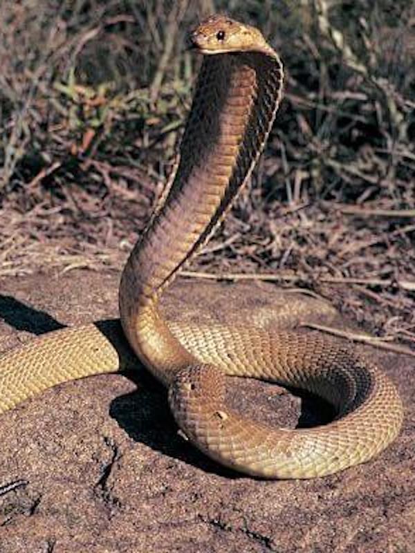 La temida cobra gigante africana son en realidad cinco especies