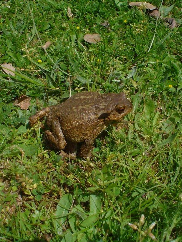 La violenta rana toro asalta el Delta del Ebro