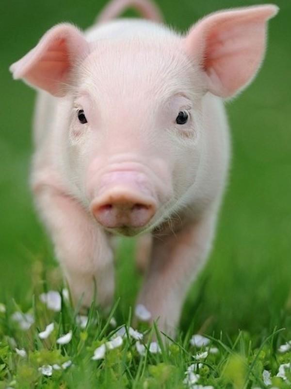 Ver cachorros de animales comestibles nos quita las ganas de comer carne