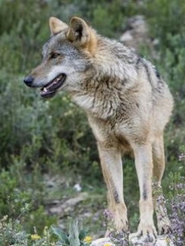 Equo exige al Gobierno que no financie o apoye la exposición de cabezas de lobo disecadas sino que aumente su protección