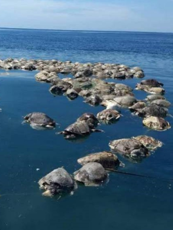Hallan muertas a 300 tortugas marinas de una especie en peligro de extinción frente a la costa de México