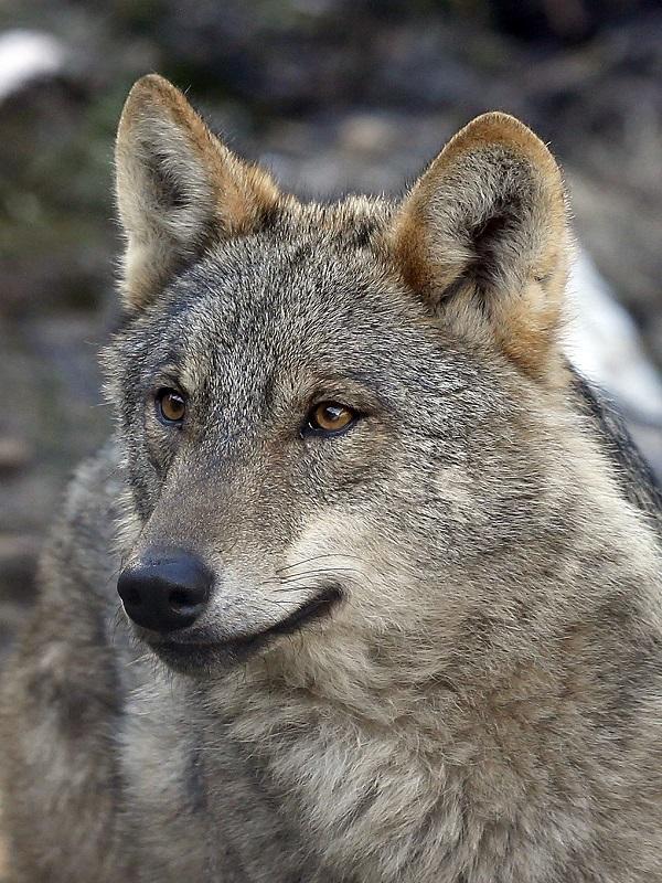 Confirmado: El lobo puede convivir con el ganado