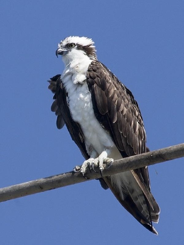 Se colocarán 4, y 6 posaderos, para aumentar los ejemplares de águila pescadora una especie que cuenta con sólo 17 parejas reproductoras, la mayoría en Cádiz