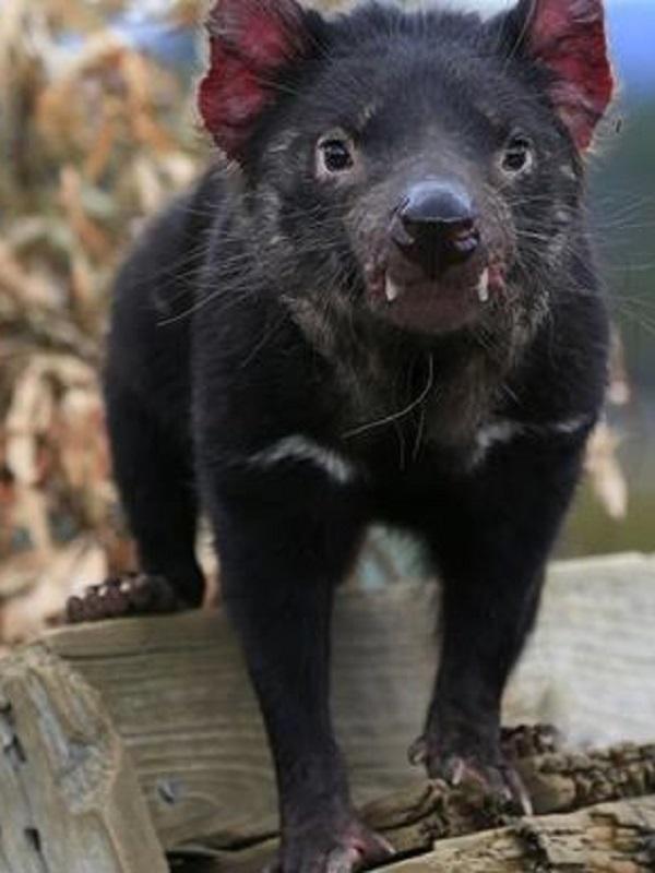 El demonio de Tasmania podría tener la clave de la regresión de tumores