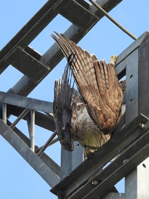 Los ingenieros técnicos industriales contribuirán a evitar la electrocución de aves
