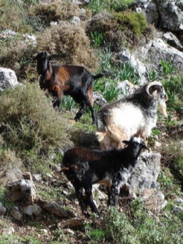 El Gobierno de Canarias va a permitir que maten a cualquier animal asilvestrado que viva en libertad