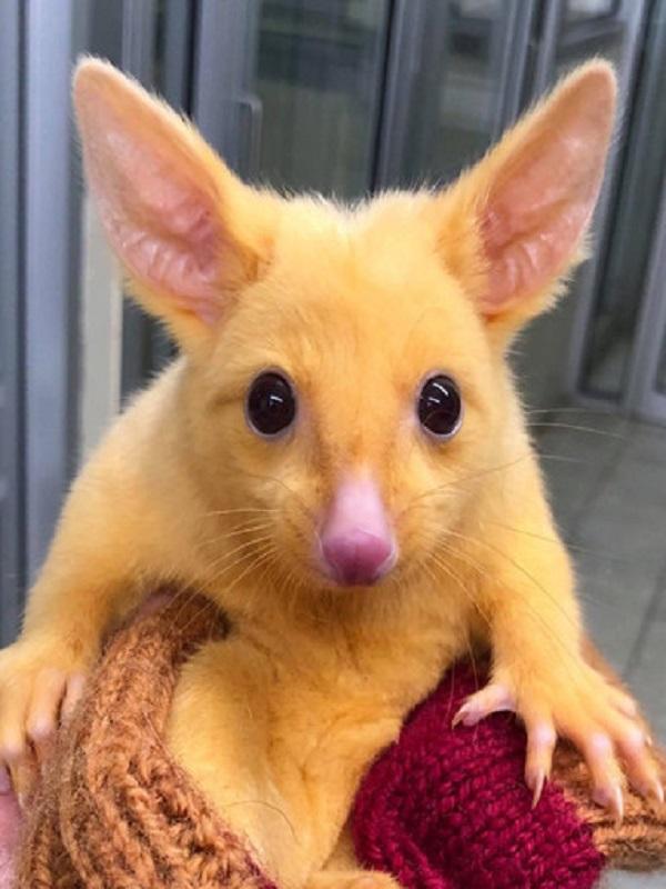 El Pikachu de la vida real es una zarigüeya Australiana con una extraña mutación