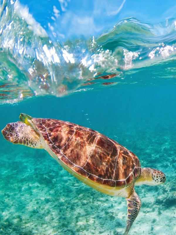 Los microplásticos afectan a todas y cada una de las especies de tortugas marinas