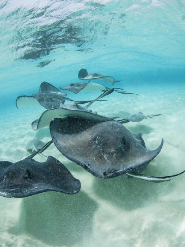 Tiburones y rayas, pueden ser buenas alternativas para los alérgicos al pescado