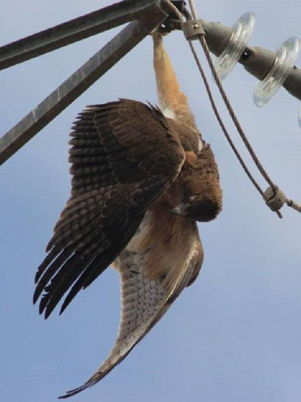 La muerte de tres águilas imperiales en la provincia de Toledo revela la amenaza que suponen los tendidos eléctricos para las aves