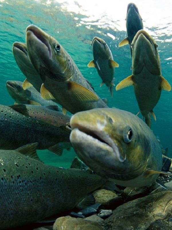 El salmón amenazado por el cambio climático