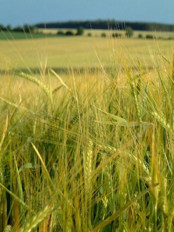 Los cultivos bioenergéticos son tan letales como el cambio climático