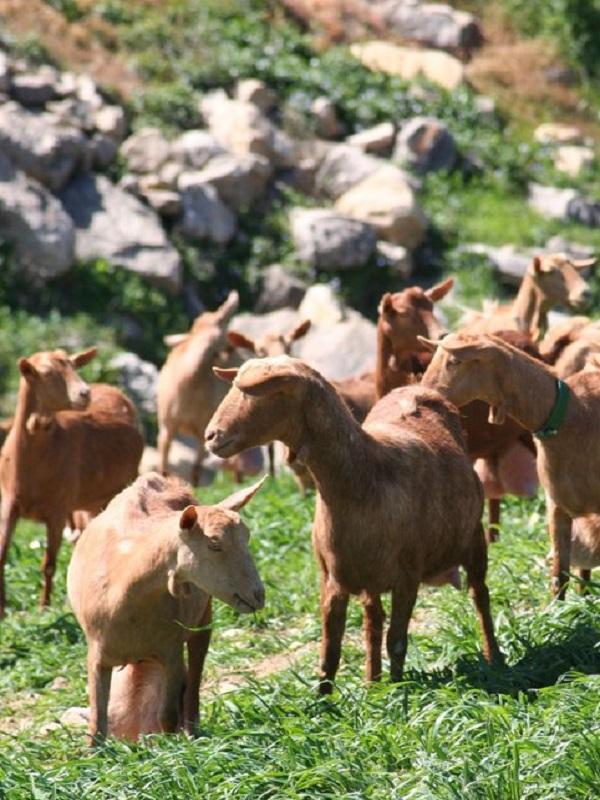 Descubren las diferencias genéticas entre las razas de cabras españolas y marroquíes