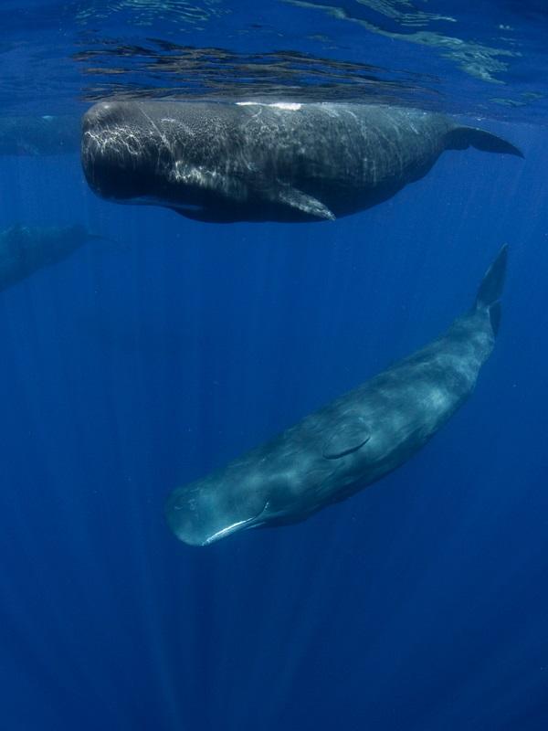 Exigen incluir como especie en peligro de extinción al cachalote del Mediterráneo
