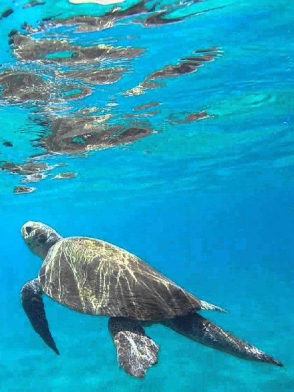 Cabo Verde triplica el número de anidación de tortuga boba después de 20 años protegiendo las playas donde ponen huevos
