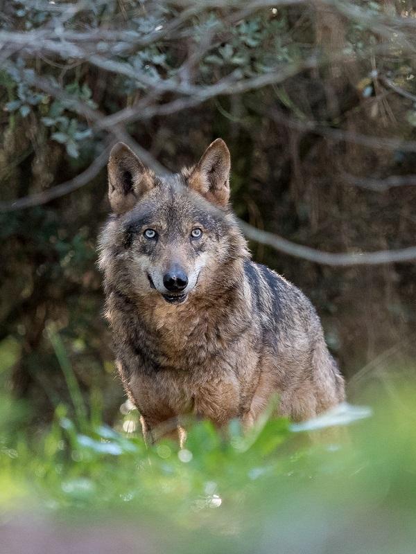 El Gobierno de Cantabria se pone de perfil con las batidas de lobos