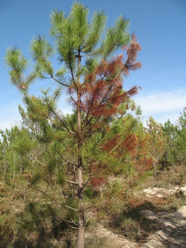 Euskadi reafirma su voluntad de fumigar las zonas afectadas por la enfermedad de los pinos