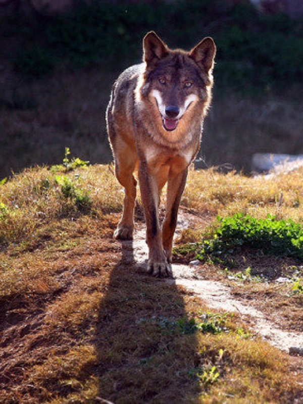 Oposición a la persecución de lobos dentro del Parque Picos de Europa