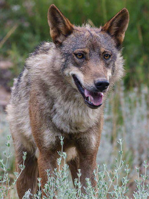 Life Lobo Andalucía participa en un encuentro internacional con expertos en la conservación del cánido celebrado en el Centro del Lobo Ibérico de Castilla y León