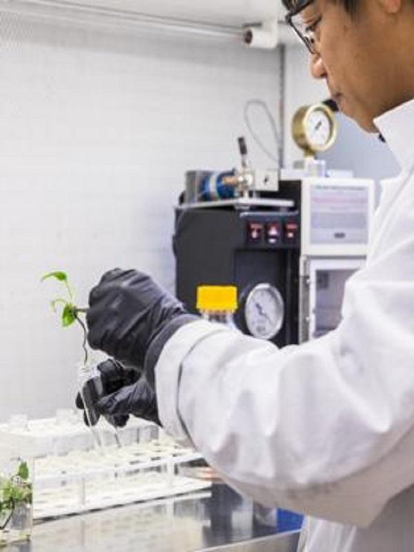 Una planta modificada genéticamente para limpiar el aire de las casas