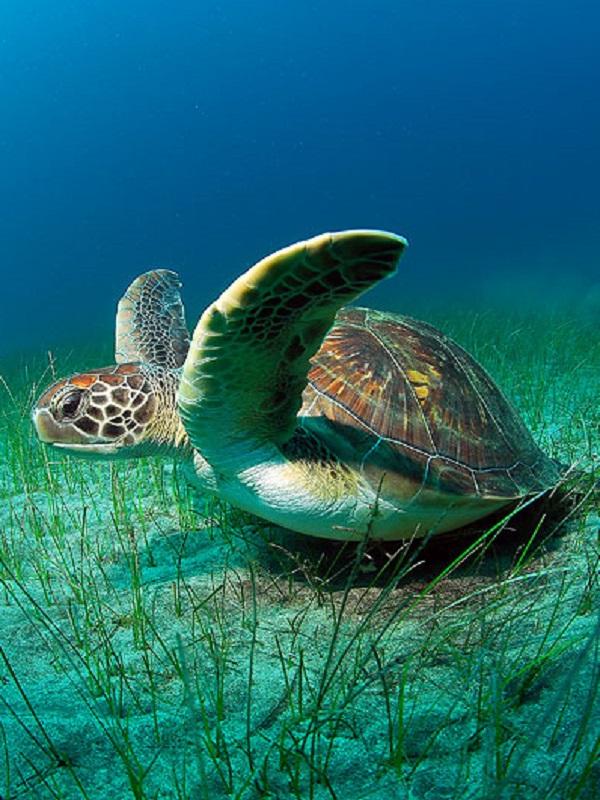 El cambio climático provoca la feminización de las tortugas