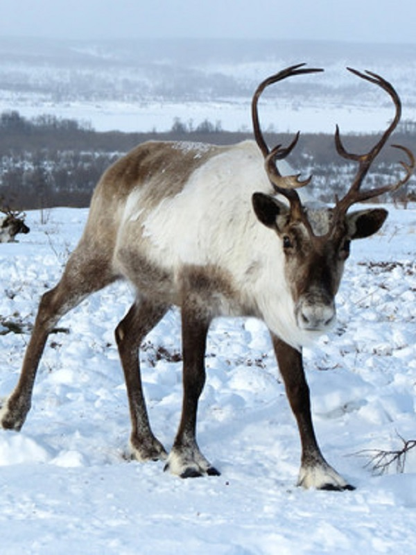 El principio del fin del reno en el Ártico