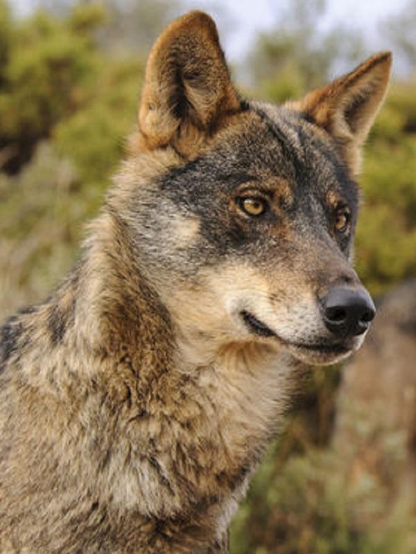 La recuperación del lobo ibérico se consolida según el último censo que arroja un 20% más de manadas que en 2008 en CyL