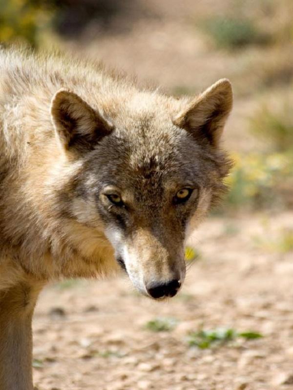 Se puede y se debe prohibir la caza mayor y los controles del lobo por el temporal