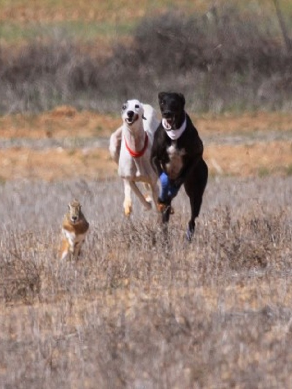 Dos descerebrados detenidos por cazar liebres con galgo sin licencia de caza