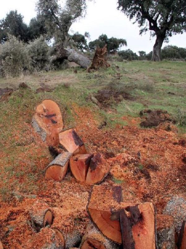 Desmadre en la tala de encinas en Retortillo (Salamanca)