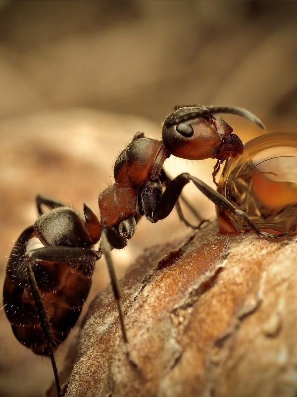 Hormigas africanas tratan las heridas de guerra de sus soldados