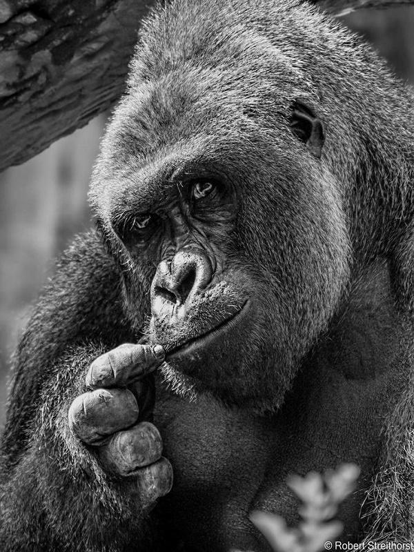 La gorila Pikin salta a la fama